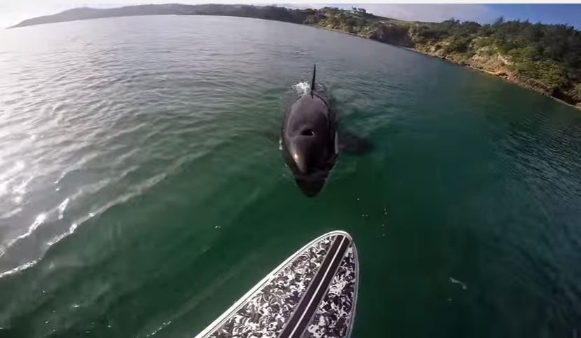 orca vs paddleboard